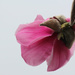 Magnolia Flower by nanderson