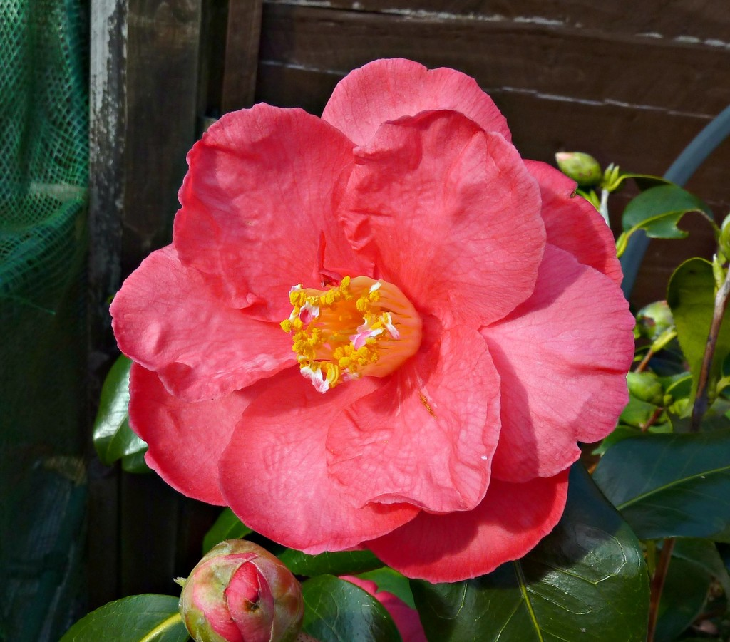 Camelia by wendyfrost