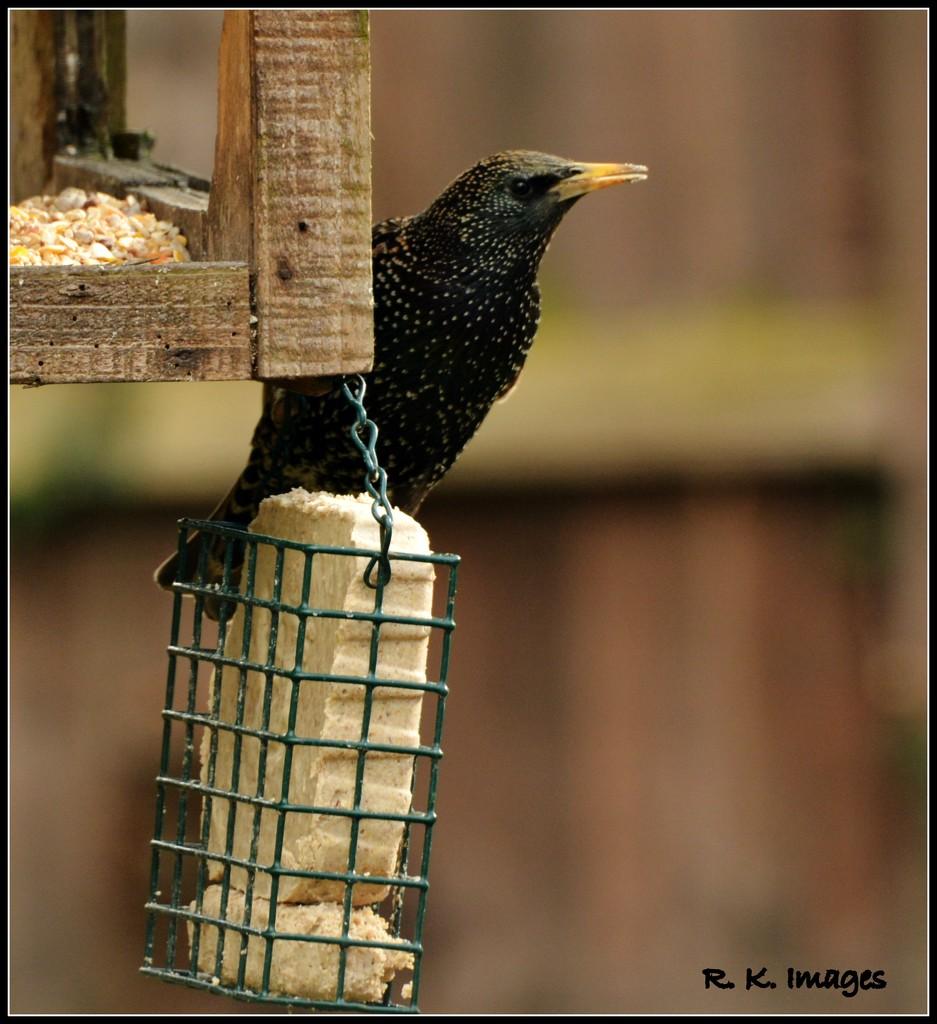 My friend the starling by rosiekind