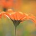 orangebloom by blueberry1222