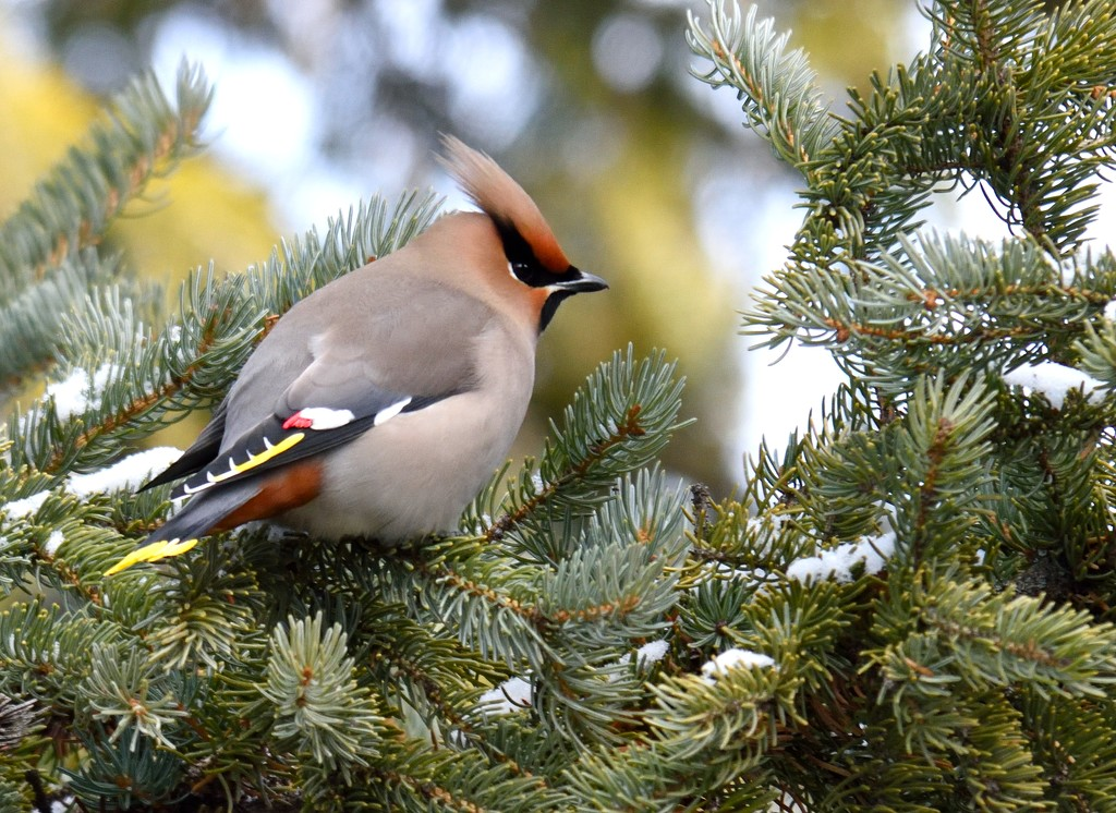 bohemian waxwing by mjalkotzy