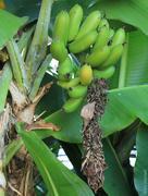 16th Jan 2015 - Plant genus Musa