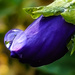 Water Drop on a Pansy by salza
