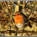 Feathered friend - Robin Redbreast by rosiekind