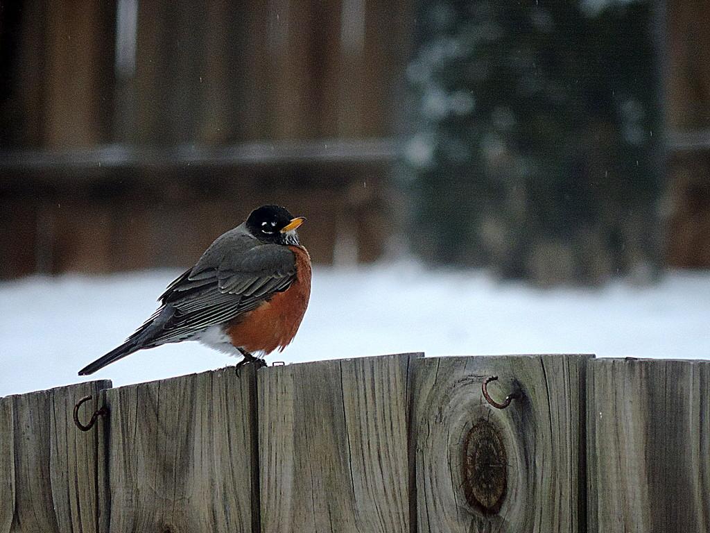 Snow Robin! by homeschoolmom