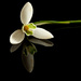 25th February 2015 - Snowdrop on 365 Project