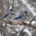 Snowy Perches