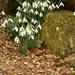 Flowers - garden snowdrops