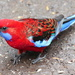Crimson Rosella by terryliv
