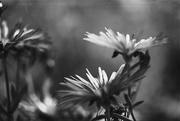 26th Feb 2015 - flowers in bw