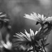 flowers in bw by blueberry1222