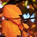 11-2-10 Sunlit Leaves by shantwin