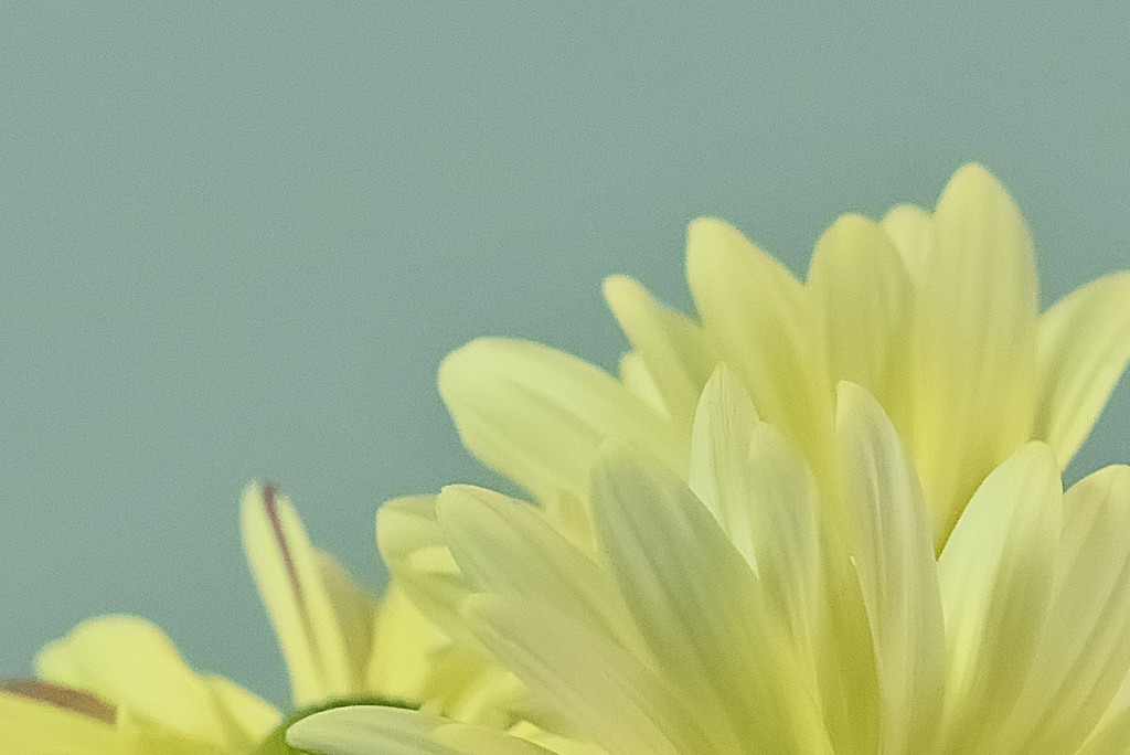 Daisies - High ISO crop by lstasel