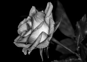 28th Feb 2015 - B&W February:  A rose by any other name...