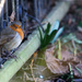 2015 03 01- Robin by pixiemac