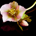 1st March 2015 - Hellebore on 365 Project