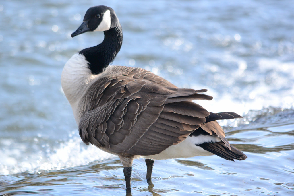 Canada goose by richardcreese