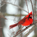 Red Bird and Red Buds by mzzhope