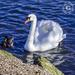 Swan & Friend