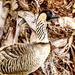 Hawaii's State Bird ... The Nene Goose