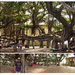 Lahaina's Banyan Tree ... The Largest in the USA