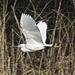 Egret in flight by padlock