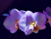 4th Mar 2015 - Floating Orchids