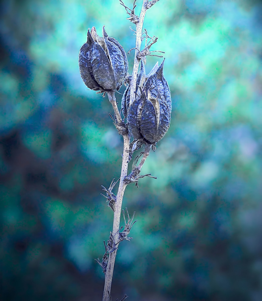 Blue Pods  by joysfocus