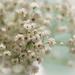 Gypsophila by tracymeurs