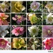 Some more of Helleborus