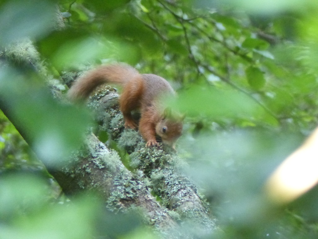 Red Squirrel by susiemc