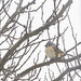 Penciled Turfted Titmouse