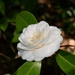 More beautiful camellias from my visit to the state park yesterday. by congaree