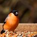 6th March 2015 - Bullfinch by pamknowler