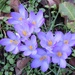 Crocuses on the verge by ditzy