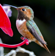 6th Mar 2015 - Rufous - Friday Night Date