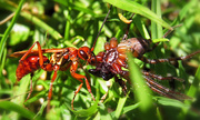 7th Mar 2015 - Golden hunter wasp with paralysed spider.