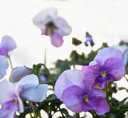 8th Mar 2015 - Dainty Flowers