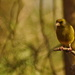 GREENFINCH SITTING IN THE SUN by markp