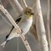 American Goldfinch by sunnygreenwood