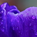 UP CLOSE CROCUS FOCUS by markp