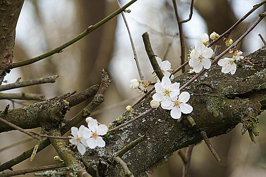 celebration: first blossom by quietpurplehaze