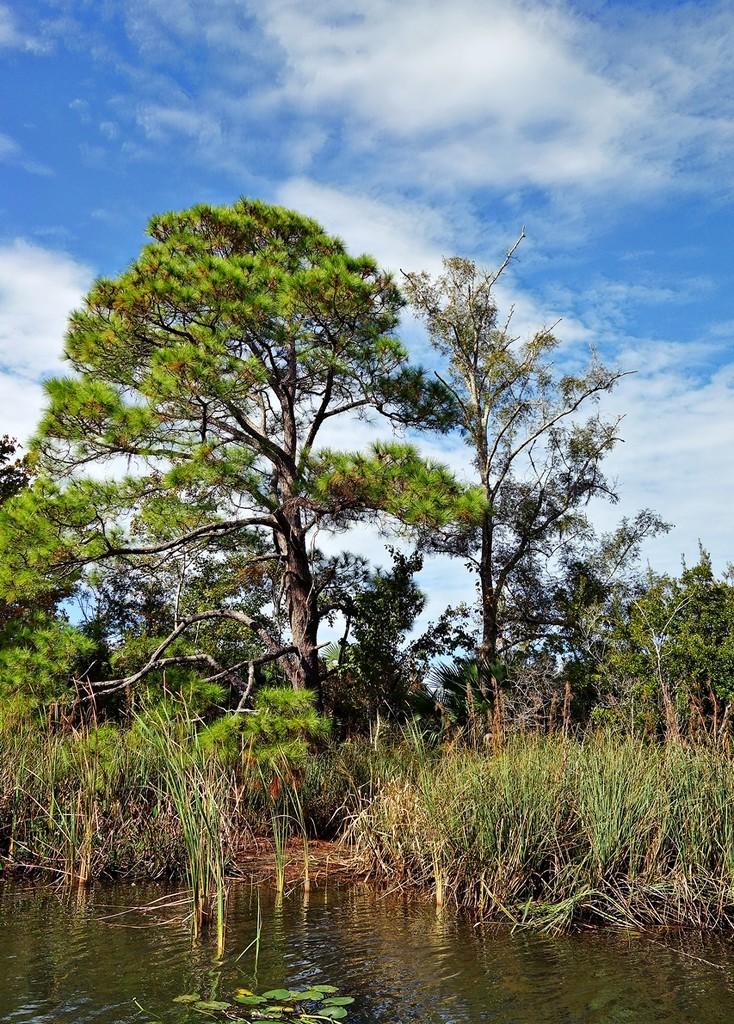 Marsh Pine by soboy5