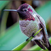Hummingbird on Yucca by elatedpixie