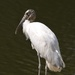 Wood stork by congaree