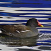 MOORHEN ON PRETTY WATERS by markp