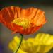 Poppy by seattlite