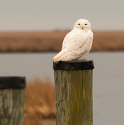 11th Mar 2015 - My first ever snowy owl, ever!