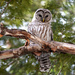 Beautiful Barred Owl! by fayefaye