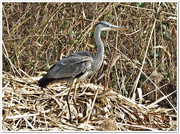 13th Mar 2015 - Grey Heron (Juvenile)